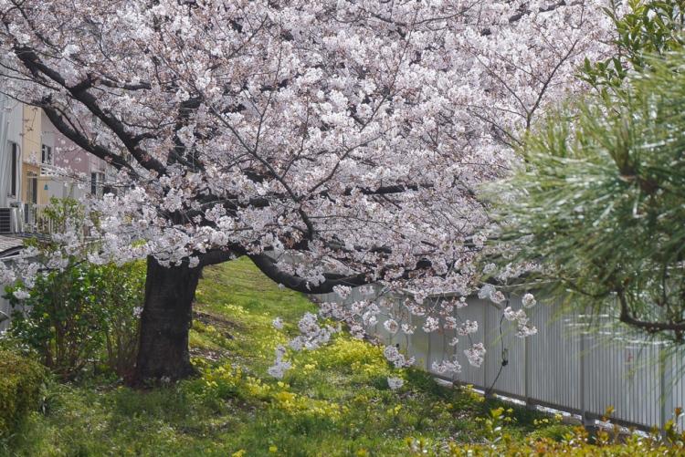 門前仲町深川櫻花樹